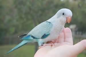 blue pallid quaker parrot friendly bird aviaryfriendly