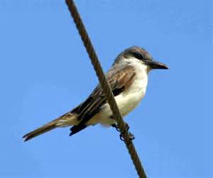 Pictures of barbados birds