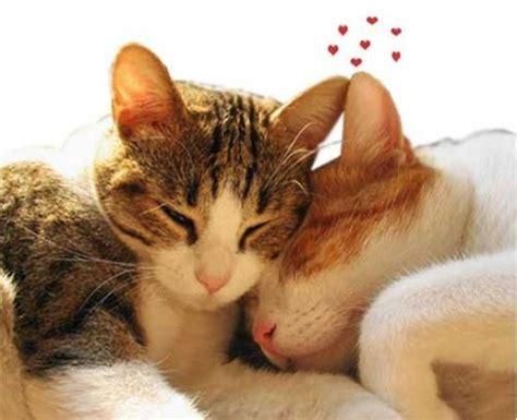 imagenes tumblr gatitos tiernas fotos de gatos enamorados