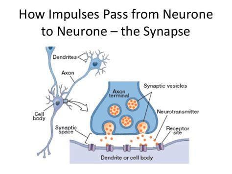 Synapse Diagram Gcse