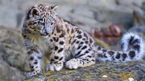 Description the wallpaper above is snow leopard cub wallpaper in