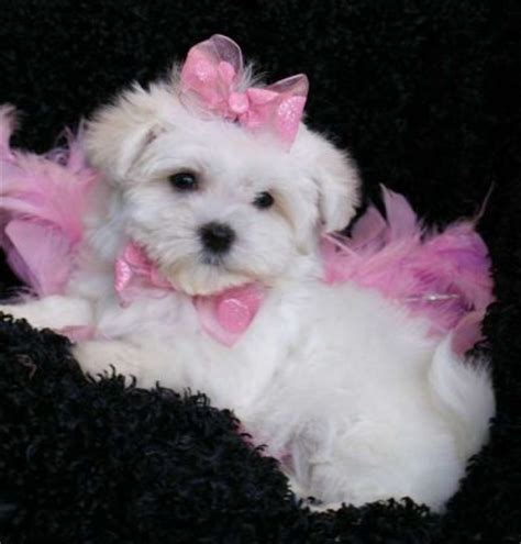 free teacup puppies in nj pets atlantic city nj free classified ads