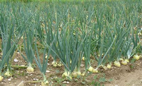 scientific findings about onions onion cultivation gaining ground in kerala kerala editor