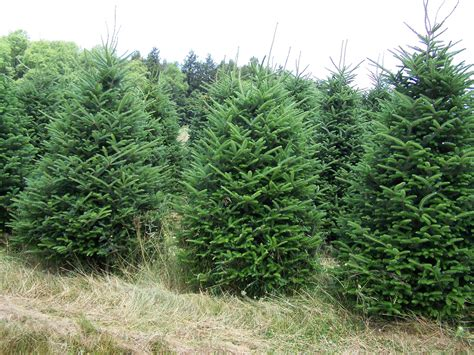 image gallery evergreen trees