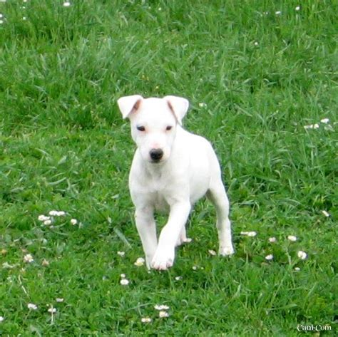 Parson Terrier Shedding by Parson Terrier Breed Information History Health