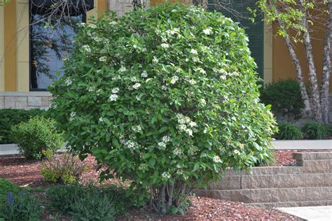 Orange Spice Color by Mohican Viburnum Is A Deciduous Shrub That Produces White