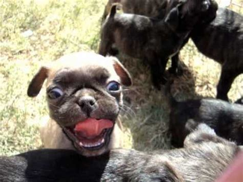 boston terrier pug mix for sale bugg pug boston terrier mix pups for sale in midland