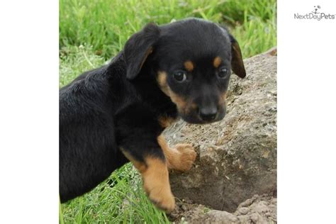 corgi dachshund mix puppies for sale dachshund puppy for adoption near 01fb439e 7b42