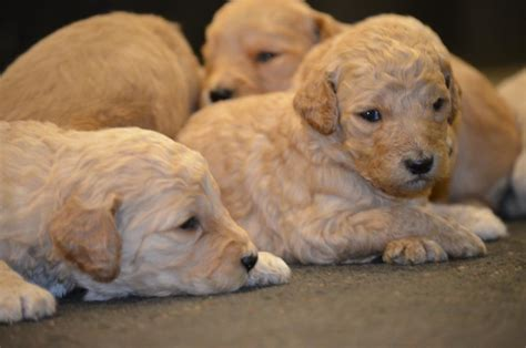 goldendoodle puppy week by week pups bestgoldendoodles goldendoodle and mini