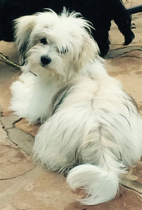puppyfind havanese havanese for sale