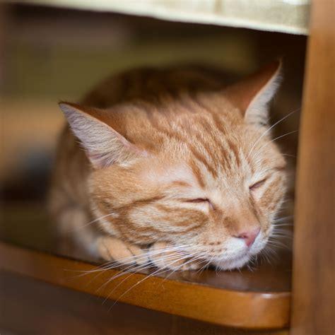 Sleeping Orange Cat pet photography orange cat sleeping by rogers