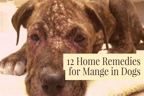 demodectic mange in dogs 12 home remedies for mange in dogs