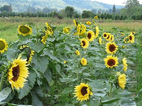 Sunflowers Zinnias And Dahlias Gallery Garden Design Sunflower Garden Ideas