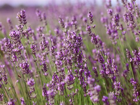 how to grow lavender from cuttings boldsky com
