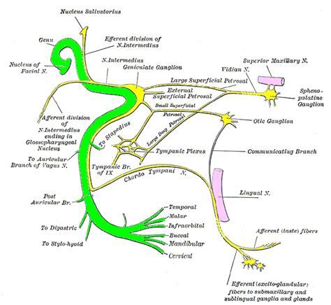 vestibular therapy near me themes trigeminal facial and vestibular cochlear nerves