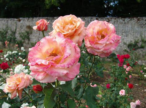 imagenes de flores rositas rosas de varios colores ecuador nostalgia gabitos