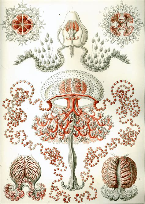 art forms from the art forms in nature ernst haeckel artwork simorg portable portal