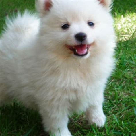 italian pomeranian 81 best images about volpino italiano italian spitz on