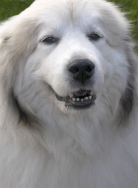 Great Pyrenees Dog House Plans
