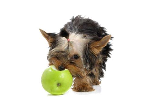 can puppies apples apples for dogs 101 can dogs eat apples