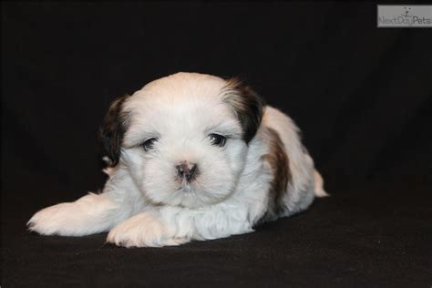 shih tzu puppies for sale in dallas shih tzu puppy for sale near dallas fort worth