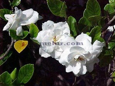 wallpaper bunga kacapiring bunga cina melur cina gardenia augusta herba