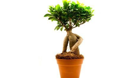 ficus planta interior ficus bons 225 i hogarmania