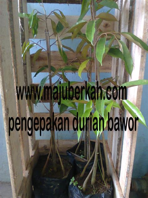 Harga Bibit Durian Bawor Terbaru pengepakan bibit durian bawor pengepakan bibit durian