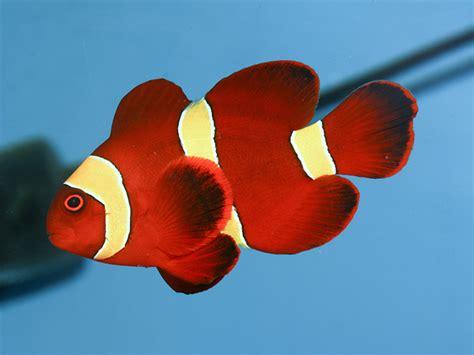 Aquarium by Photos Of Premnas Biaculeatus Maroon Clownfish