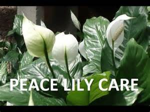 Houseplants That Don T Need Sunlight peace lily how to care indoor house plant spathiphyllum