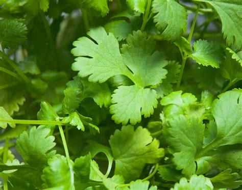 Cilantro Coriander Leaves growing cilantro bonnie plants