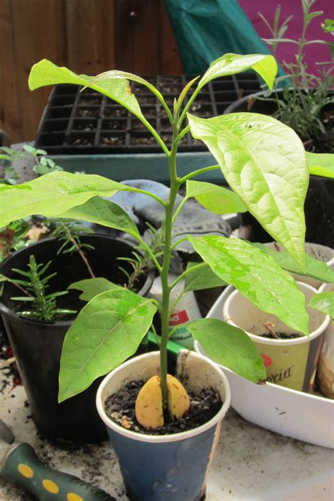 avocado tree from seed fruit growing avocados from seed ground to ground