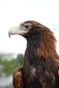 wedge tailed eagle land
