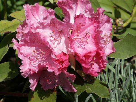 wann rhododendron pflanzen rhododendron rhododendron