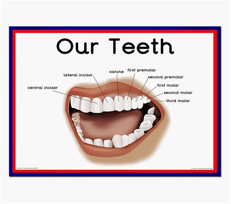 teeth of the diagram of the teeth www pixshark images galleries with a bite