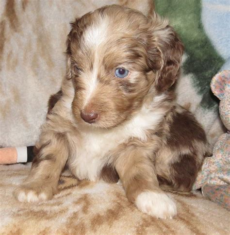 mini aussiedoodle puppies mini f1 aussiedoodle puppies for sale aussiedoodle and