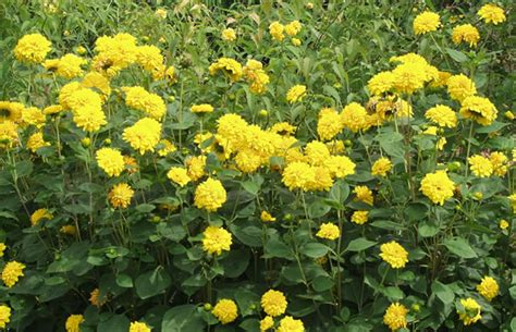stauden gelb winterhart helianthus decapetalus stauden sonnenblume pflanzenreich