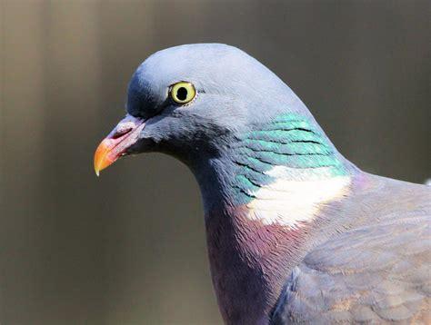 pigeon beak www pixshark com images galleries with a bite