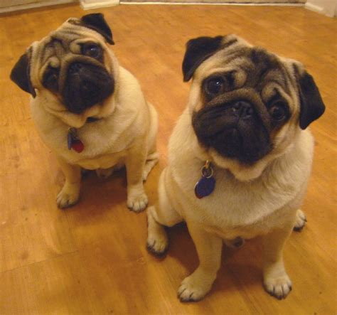 images of pugs pugs