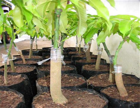 fruit tree grafting methods science 9 with ms l asexual reproduction webquest
