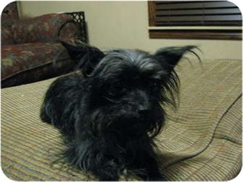 affenpinscher yorkie mix zoe adopted bedminster nj affenpinscher yorkie terrier mix