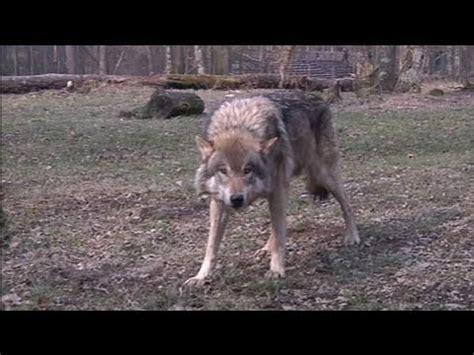 Dormir Avec Les Loups 39 by Survivre Avec Les Loups Doovi