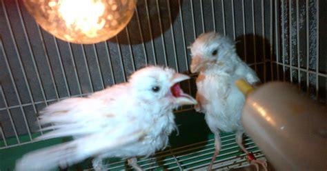 Obat Cacing Burung Kenari arta birds cara menyuapi burung kenari meloloh piyek