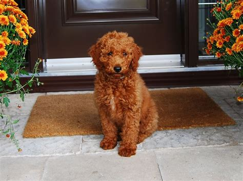 goldendoodle puppy how much food 25 best ideas about medium goldendoodle on