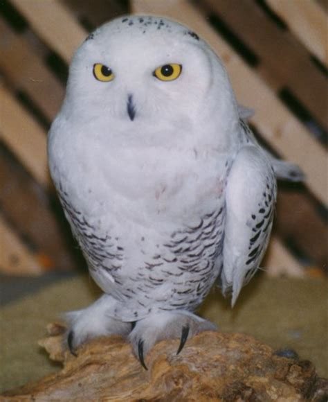 Jam Alarm Owl snowy owl pictures great pictures of snowy owls in the