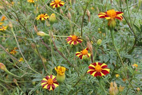 marigolds shade marigold pod easy edible gardening