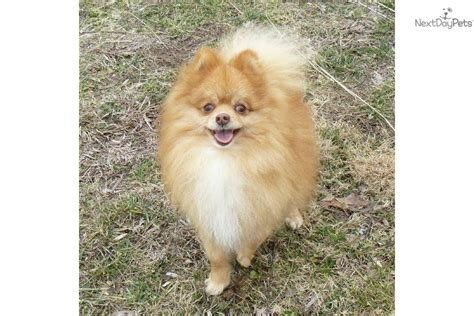 chocolate pomeranian puppy meet tiptop a pomeranian puppy for sale for 400 chocolate akc