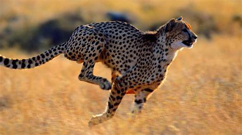 imagenes de animales wikipedia adictamente los animales mas r 225 pidos en el aire la