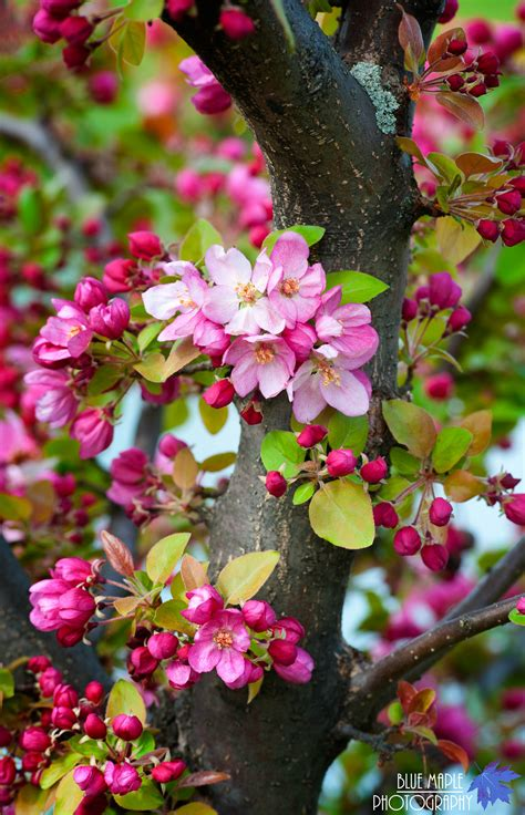 Wedding Bouquet Crabapple Tree by Prints Blue Maple Photography