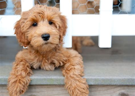 how between puppies best 25 labradoodle puppies ideas on